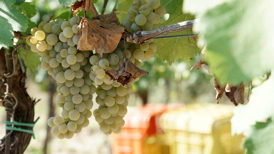 grapes - vino